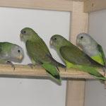 2,2 Grauköpfchen Jungvögel