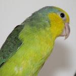 0,1 Gelbmasken-Sperlingspapagei von Zuchtpaar 1