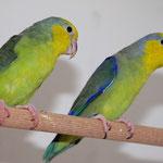 Zuchtpaar 1 -  Gelbmasken-Sperlingspapagei