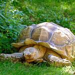 Eine Riesenschildkröte. Ich glaub die hat sich noch nie bewegt seit ich das erste mal hier war. (Zoo Augsburg)