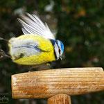 Blaumeise im Vorbeiflug...schaut lustig aus, erinnert an einen vorbei fliegenden Tennisball ;)