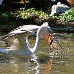 Pelikane haben viel Platz im Schnabel... (Zoo Augsburg)
