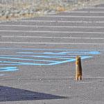 Denali Highway - Erdmännchen auf dem Parkplatz