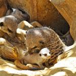 Familie Erdmann kümmert sich liebevoll um die Rabauken ;-) (Zoo Augsburg)