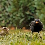 Amsel und Spatz unter dem Vogelhaus