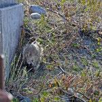 Richardson Highway - Noch ein Urson, hat sich dann unter der Brücke versteckt