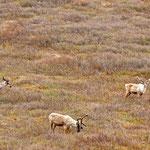Denali Nationalpark ... Tiere gibts hier ohne Ende