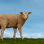 Deichkind... Schafe aufm Deich, ein typisches Bild in Ostfriesland