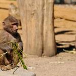 Lustig zu beobachten: Die kleinen Paviane (Zoo Augsburg)