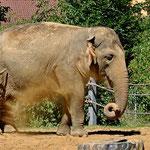 Der Elefant genehmigt sich eine Sanddusche (Zoo Augsburg)