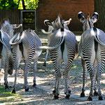 Selbst für die Tiere aus Afrika (Zebras) ist es zu heiß... (Zoo Augsburg)