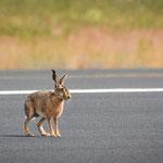 ...Roger Rabbit im Hoheitsgebiet der Tiger...gefährliche Umgebung...