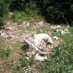 Reste von Ziegen an einer Futterstelle für Geier.