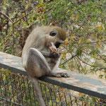Ein diebischer Affe am Picknickplatz beim Untersuchen seiner Beute.