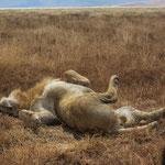 Ein Löwenmännchen beim Verdauen in der Mittagshitze direkt neben der Piste im Ngorongoro-Krater.