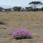 Ein einsamer violetter Farbklecks in der verbrannten Erde der Vor-Serengeti.