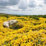 Anfang Juli erzeugt blühender Ginster an vielen Hängen der Pyrenäen ein gelbes Blütenmeer.