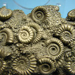 fossils in pyrite