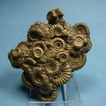 cluster ammonites