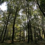 Forêt d'Andaine, Orne © Gérard Houdou