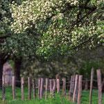 Poiriers en Normandie © Gérard Houdou