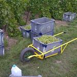 Débardage du raisin à la vendange