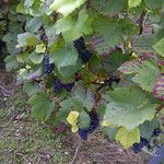 Raisin noir à jus blanc : cépage Pinot noir ou Pinot meunier