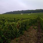 Notre vigne à Bergères les Vertus