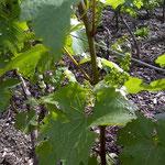 Formation des grappes de raisin au printemps