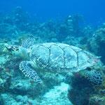 Es war nicht die Frage ob wir Schildkröten sehen sondern wieviele...
