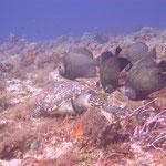 Schildkröte mit Batfish