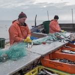 Baabe,Fischer bei der Arbeit mit Heringen