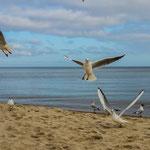 Baabe, Möwen am Strand