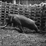 Capture d'un éléphant sauvage, Mysore, Inde, 1953