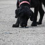 Beim Antrailen: Geruchsträger mit Leckerchen...