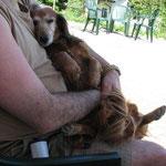 Unsere Seniorin, Belle mit 14 Jahren, nach der Wanderung. Ein Schläfchen auf Herrchens Schoß wohlverdient
