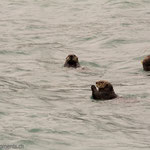 Seeotter (Sea Otter)