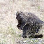 Stachelschwein (Porcupine) am St. Elias Lake