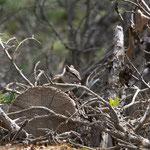 Streifenhörnchen (Chipmunk)