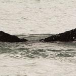 Buckelwal (Humpback Whale)