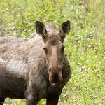 Alaska Hwy. Elch (Moose)