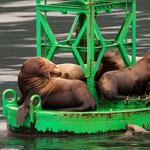 Steller Seelöwen (Steller Sea Lions)