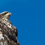 junger Weisskopfseeadler (Bald Eagle)