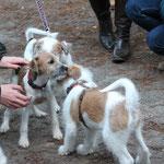 Mia und Bixie und ein kleiner Rüde vom K-Wurf vom Steenbrook