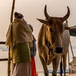 A Bénarès les vaches sacrées déambulent dans la ville et jusqu'au bord du Gange