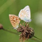 Silbergrüne Bläulinge bei der Paarung ©BMAYER