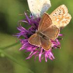 Silbergrüne Bläulinge auf Flockenblume ©BMAYER