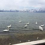 屈斜路湖の白鳥 3