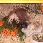 Ein bisschen Gras liegt auf dem Kühlakku - so nähern sich die Schweinchen ihm gerne ;-)