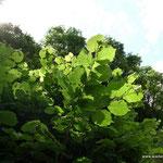 ...ihre Blätter sind im Gegensatz zu denen der Buche fast rund, etwas behaart...